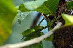 Άσπρος-χειλικός pitviper, Sarawak, Μαλαισία στοκ εικόνες