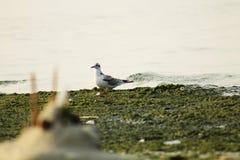 Άσπρο seagull στην παραλία κοντά στη θάλασσα στοκ εικόνα