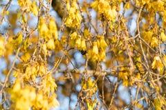 Άφθονος φωτεινός κίτρινος του λουλουδιού kowhai στοκ φωτογραφίες
