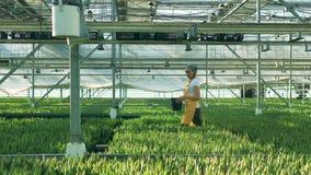 Ένας κηπουρός περπατά σε ένα θερμοκήπιο με τις τουλίπες, γεωργική βιομηχανία Ανάπτυξη λουλουδιών στο θερμοκήπιο απόθεμα βίντεο