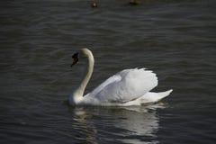 Ένας νέος κύκνος κολυμπά ήρεμα στο νερό στοκ εικόνα με δικαίωμα ελεύθερης χρήσης
