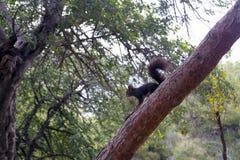 Ένας σκοτεινός καφετής γούνινος σκίουρος κάθεται σε ένα μεγάλο δέντρο πεύκων σε ένα πάρκο στοκ εικόνες