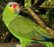 Ένας παπαγάλος κόκκινος-Lored στοκ εικόνες με δικαίωμα ελεύθερης χρήσης