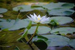 Ένα άσπρο λουλούδι λωτού στοκ φωτογραφία με δικαίωμα ελεύθερης χρήσης