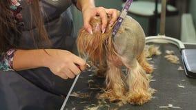Ένα επαγγελματικό groomer μαδά την τρίχα από τα αυτιά ενός μικρού τεριέ του Γιορκσάιρ απόθεμα βίντεο