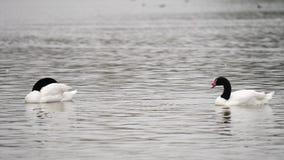 Ένα ζευγάρι των μαύρων κύκνων λαιμών, καθαρίζοντας τα φτερά τους, που κολυμπούν σε μια λίμνη, με ένα μαλακό φύσηγμα αερακιού φιλμ μικρού μήκους