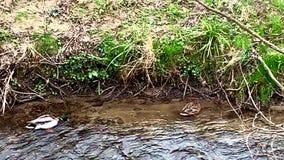 Ένα ζευγάρι των παπιών που κολυμπούν σε ένα riverbank απόθεμα βίντεο