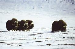 Ένα κοπάδι musk των βοδιών tundra στοκ εικόνες