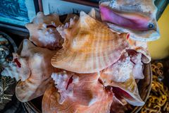 Ένα μεγάλο θαλασσινό κοχύλι conch στη Key West, Φλώριδα στοκ φωτογραφία με δικαίωμα ελεύθερης χρήσης