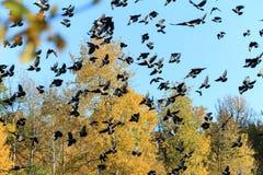 Ένα μεγάλο κοπάδι των κοράκων στο υπόβαθρο του δάσους και του μπλε ουρανού φθινοπώρου στοκ φωτογραφίες