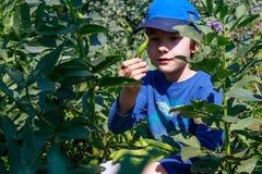 Ένα νέο αγόρι στον κήπο που επιλέγει τα ευρέα φασόλια Κηπουρική παιδιών Υγιής έννοια εκπαίδευσης ζωής και φύσης στοκ εικόνα με δικαίωμα ελεύθερης χρήσης