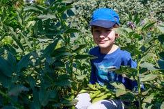 Ένα νέο αγόρι στον κήπο που επιλέγει τα ευρέα φασόλια Κηπουρική παιδιών Υγιής έννοια εκπαίδευσης ζωής και φύσης στοκ εικόνες με δικαίωμα ελεύθερης χρήσης