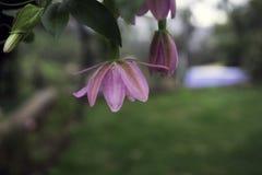 Ένα ρόδινο λουλούδι σε Ooty, Ινδία στοκ φωτογραφία