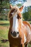Ένα όμορφο άλογο κόλπων στέκεται και κοιτάζει προς τα εμπρός στοκ φωτογραφία με δικαίωμα ελεύθερης χρήσης