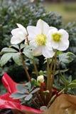 Ένα χιόνι αυξήθηκε σε ένα δοχείο λουλουδιών έξω από ευρέως ανοιγμένος στοκ φωτογραφία με δικαίωμα ελεύθερης χρήσης