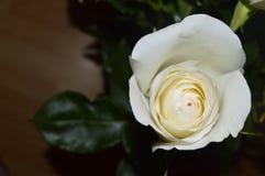 Ήπια άσπρος οφθαλμός ροδαλού ενός στενού στοκ εικόνες με δικαίωμα ελεύθερης χρήσης