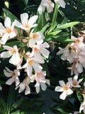 Ήπια ρόδινα λουλούδια της κινηματογράφησης σε πρώτο πλάνο Nerium oleander στοκ εικόνες