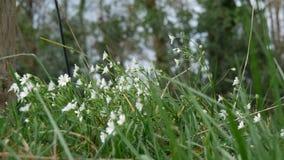 Αέρας στα μικρά άσπρα λουλούδια απόθεμα βίντεο