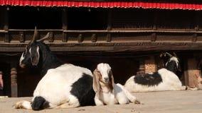 Αίγα στήριξης σε Bhaktapur, Κατμαντού Καθημερινή ζωή της ασιατικής αρχαίας πόλης μετά από το σεισμό Ζώο που βάζει στην οδό απόθεμα βίντεο
