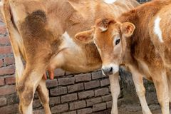 Αγελάδα και μόσχος του Τζέρσεϋ, μητέρα και γιος στοκ φωτογραφία με δικαίωμα ελεύθερης χρήσης