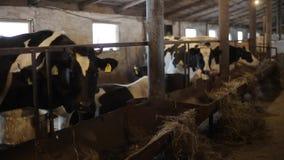 Αγελάδες στο αγρόκτημα Γραπτές αγελάδες που τρώνε το σανό στο σταύλο μπάρμαν σταύλος απόθεμα βίντεο