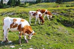 Αγελάδες που βόσκουν στα πράσινα λιβάδια των δολομιτών, στοκ εικόνες