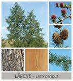Αγριόπευκο, ευρωπαϊκό αγριόπευκο, κωνοφόρο, larix, decidua, βελόνα, αειθαλής στοκ εικόνα με δικαίωμα ελεύθερης χρήσης