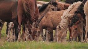 Αγρόκτημα αλόγων Όμορφη εθνική φυλή των αλόγων Διάφορα άλογα βόσκουν στο λιβάδι απόθεμα βίντεο