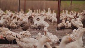 Αγρόκτημα χήνων Πολλές χήνες κάθονται ή περιπλανιούνται γύρω από τη μάντρα απόθεμα βίντεο