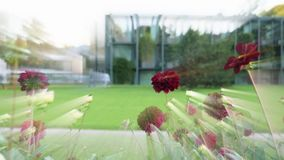Ακτινοβολία των ελαφριών ακτίνων ακτίνων από το όμορφο κόκκινο λουλούδι της Zinnia φιλμ μικρού μήκους