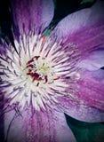"""Αμέθυστος Clematis """"Ranunculaceae """" στοκ εικόνες"""