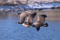 Αμερικανικά υδρόβια πουλιά Καναδόχηνα κατά την πτήση επάνω από μια λίμνη στοκ φωτογραφίες με δικαίωμα ελεύθερης χρήσης