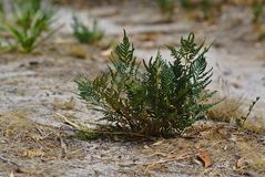 Ανάπτυξη δέντρων έλατου μωρών στην ξηρά επιφάνεια στοκ εικόνες