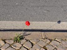 Ανάπτυξη του λουλουδιού παπαρουνών στο δρόμο στοκ φωτογραφίες
