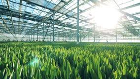 Ανάπτυξη των τουλιπών σε ένα ειδικό θερμοκήπιο, καλλιέργεια λουλουδιών φιλμ μικρού μήκους
