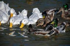 Ανακατώστε στη λίμνη παπιών μεταξύ του πρασινολαίμη και των άσπρων παπιών pekin για τα τρόφιμα στοκ φωτογραφίες