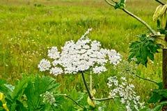 Ανθίζοντας άσπρα λουλούδια Heracleum στοκ φωτογραφία