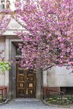 Ανθίζοντας ρόδινο δέντρο sakura στις οδούς Uzhgorod, Ουκρανία στοκ φωτογραφίες