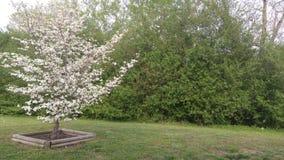 Ανθίσεις δέντρων Dogwood στο ναυπηγείο που περιβάλλεται από το πράσινο φύλλωμα στοκ εικόνες