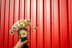 Ανθοδέσμη των camomiles στο κόκκινο υπόβαθρο Λουλούδια εκμετάλλευσης ατόμων Παρόν για τις διακοπές άνοιξη στοκ εικόνες με δικαίωμα ελεύθερης χρήσης