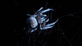 Αράχνη σε μια ενέδρα νύχτας απόθεμα βίντεο