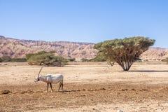 """Αραβικό Oryx Oryx leucoryx ένα γένος των ειδών αντιλοπών, ένα διακυβευμένο ζώο στην επιφύλαξη φύσης Yotvata """"σανός-φραγμών """"Ισραή στοκ φωτογραφία"""