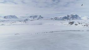 Αρκτική εναέρια άποψη μετανάστευσης αποικιών Gentoo penguin απόθεμα βίντεο
