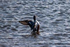 Αρσενικά βόρεια Spatula παπιών χουλιαράδων χτυπώντας φτερά clypeata στοκ φωτογραφία με δικαίωμα ελεύθερης χρήσης