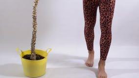 Αρσενικά πόδια στα καλσόν λεοπαρδάλεων που κάνουν τα βήματα στο άσπρο πάτωμα στο στούντιο Transgender χορεύοντας ξυπόλυτες κοντιν απόθεμα βίντεο