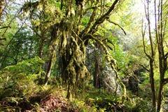 Αρχαία ψηλά δέντρα σφενδάμνου που καλύπτονται στο παχύ βρύο στο Pacific Northwest στοκ εικόνες με δικαίωμα ελεύθερης χρήσης