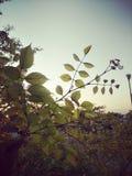 Αύξηση του φύλλου ανά ημέρες στοκ εικόνες