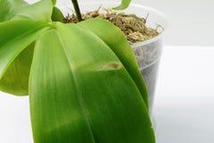 Ασθένεια στο φύλλο μιας ορχιδέας Κινηματογράφηση σε πρώτο πλάνο Έγκαυμα ήλιων σε ένα φύλλο ορχιδεών Phalaenopsis στοκ εικόνες