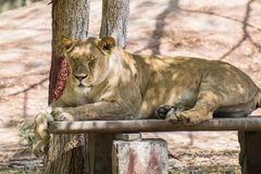 Ασιατική θηλυκή συνεδρίαση λιονταριών στοκ εικόνες