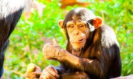 Αστείος μικρός χιμπατζής που εγκαθιστά και που τρώει στοκ φωτογραφίες με δικαίωμα ελεύθερης χρήσης